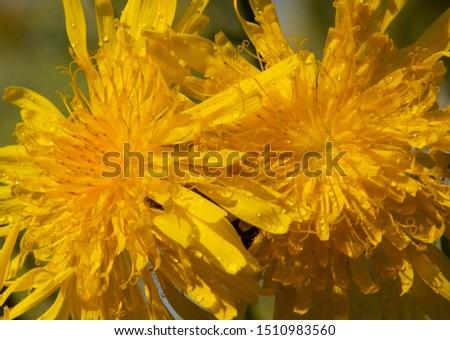 Bright yellow dandelion in autumn forest
