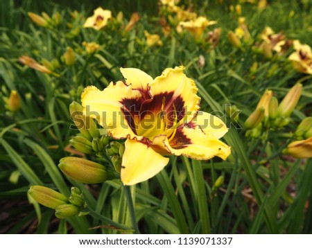 Bright yellow daylily (Hemerocallis) 'El Desperado' flower and buds