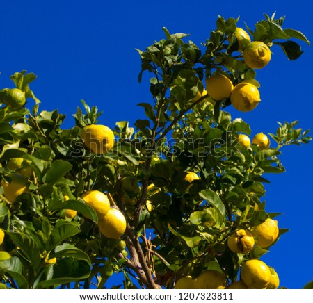 Bright yellow Eureka lemons ripening on a citrus tree in early winter are a culinary delight in fish dishes, meringues and thirst quenching drinks.