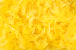 Bright yellow feathers in a full frame image as background for easter or softness