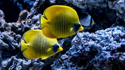 Bright yellow fish underwater on background of coral in Red sea. Yellow Tang Zebrasoma Flavescens.