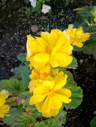 Bright yellow flower heads of tuberous begonia (variety Nonstop Yellow) in the garden. Flowering vivid yellow flowers and green leaves represent diagonal natural pattern on background of dark soil