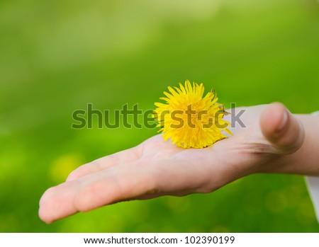bright yellow flower lie on a hand. Blur green backgrounds