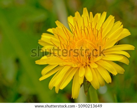 Bright yellow flowering dandelion close-up with green bokeh background , overhead view - taraxacum  #1090213649