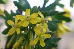 Bright yellow flowers of jostaberry (Ribes nigrum, Ribes uva-crispa) close up