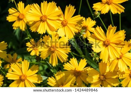 Photo of  Bright yellow flowers of Lance-leaved coreopsis (Coreopsis lanceolata)