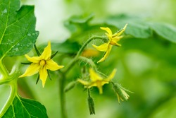 Bright yellow flowers of tomatoes