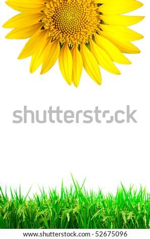 Bright yellow fresh sun flower with green grass