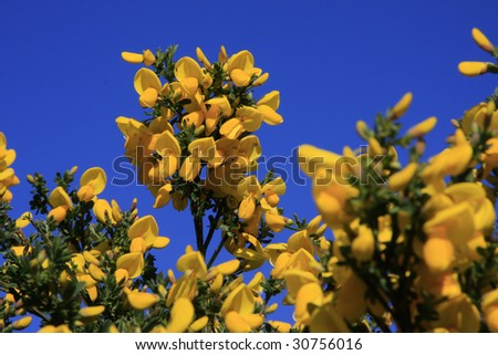 Bright yellow gorse in Springtime