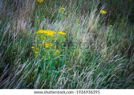 Bright yellow hogweed flowers amongst long, wild, green and beige, tall grass  stock photo