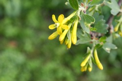 Bright yellow jostaberry flowers close up in spring