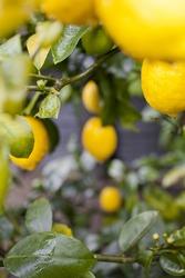 Bright yellow lemons on an organic lemon Meyer tree