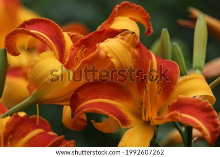 Bright yellow-orange flowers of the daylily Frans Hals on a blurred green background. Stok fotoğraf ©