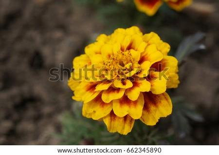 Bright yellow-orange marigolds #662345890