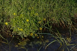 Bright yellow pilewort flowers along the water