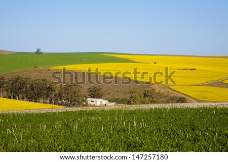 Bright yellow rapeseed fields along the Garden Route, N2, South Africa. Rapeseed is used to make canola oil.
