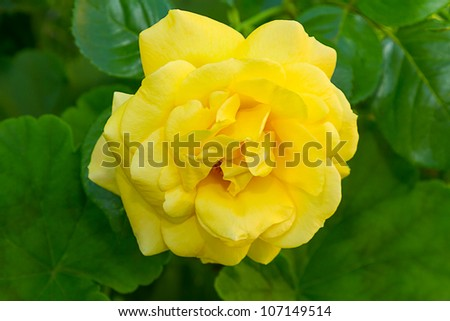 Bright yellow roses on a green. Floral background