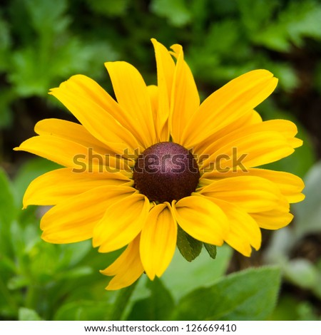 Bright yellow rudbeckia or Black Eyed Susan flowers