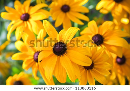 Bright yellow rudbeckia or Black Eyed Susan flowers in the garden