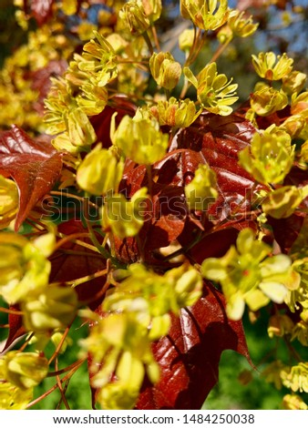 Bright yellow small flowers, maple tree. Orange leaves. on a natural background.  #1484250038