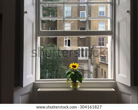 Bright yellow small sunflower pot plant on the windowsill in a period London property, against sash windows and white wooden shutters