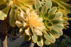 Bright yellow sunburst succulent (aeonium davidbramwellii) with darker green sunbursts behind