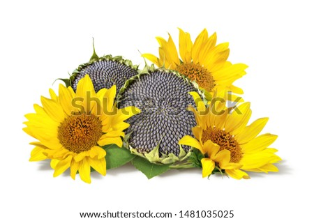 bright yellow sunflower flowers and ripe seeds, summer still life isolated on white background #1481035025