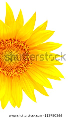 Bright yellow sunflower isolated on the white background