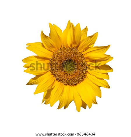 Bright Yellow Sunflower isolated on white