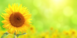 Bright yellow sunflower on blurred sunny background. Mock up template. Copy space for text