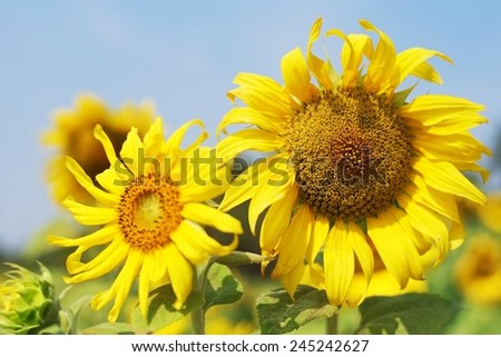 Bright yellow sunflowers in full bloom , sun and wind surfing . The bright yellow flowers.Sunflower blossom Yellow flowers Welcome the morning sun Bright yellow flowers Make merry with fresh hope.