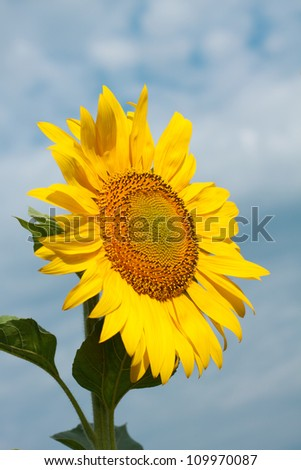 Bright yellow sunflowers mature in the sky