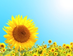 Bright yellow sunflowers on on blue sky background. Copy space for text