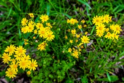 Bright Yellow Texas Wildflowers.  Cut Leaf Groundsel (Packera tampicana)