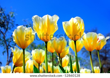 bright yellow tulips against the blue sky on a sunny day