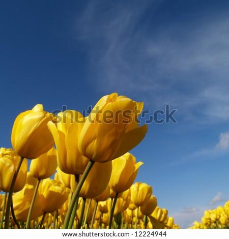bright yellow tulips in a dutch tulip field