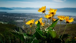 Bright yellow wildflowers blowing in the wind in the rocky mountains of Utah near Provo, UT with Utah Valley and Utah Lake in the background below on a sunny warm spring day.