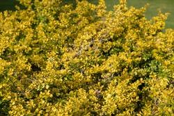 Bright Yellow Winter Foliage of an Evergreen Japanese Holly Shrub (Ilex crenata 'Golden Gem') Growing in a Garden in Rural Devon, England, UK
