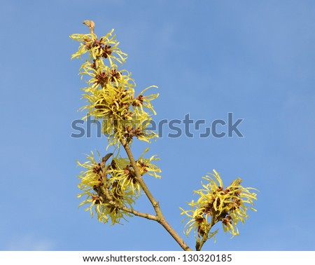 Bright Yellow witch Hazel flowers against blue sky