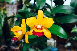 Bright yellow with red mouth  cattleya orchid flower.