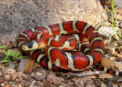 Brightly colored Arizona Mountain Kingsnake, Lampropeltis pyromelana, a Coral Snake mimic, coiled in its habitat