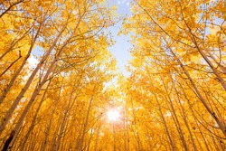 Brightly Colored Aspen Trees in Autumn