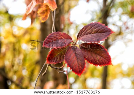 Brightly colored autumn foliage. Fall foliage on natural background. Red pigment foliage on autumn landscape. Leaves change color. Deciduous tree foliage in fall. #1517763176