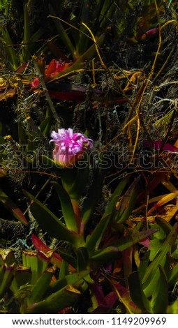 Brightly-colored fluorescent pink coastal wildflower flower near the ocean with bright green leaves and purple tips #1149209969