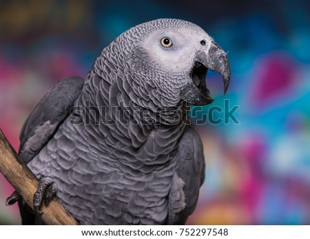 Brightly colored wall painted in grafitti with pet bird African Grey Parrot in front. Stock fotó ©