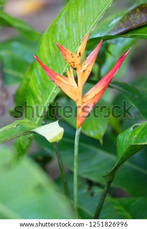 Brightly coloured Heliconia plant growing in the Amazon rainforest near Puerto Nariño, Amazon Region, Columbia, South America Stock fotó ©