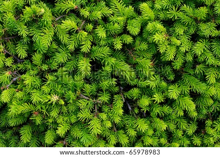 Brightly green prickly branches of a fur-tree or pine