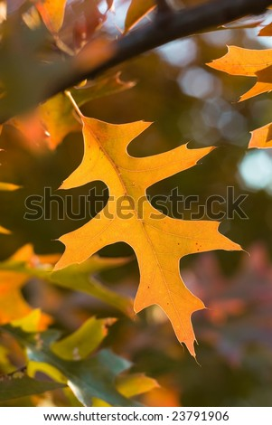 Brightly lit oak leaf with great detail