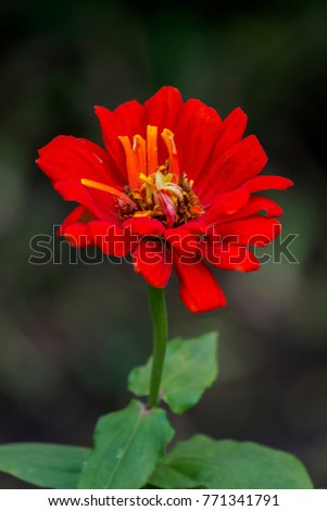 Brightly red flower of youth-and-age (Zinnia elegans) #771341791