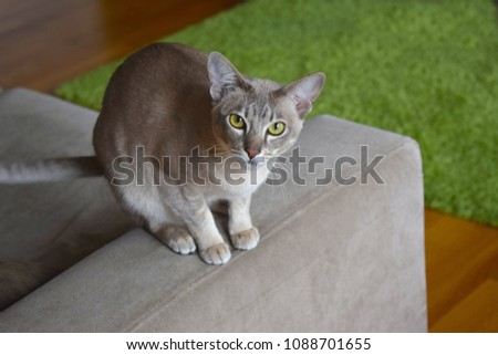 Brighton England UK April, 2018: Lovely Tonkinese female cat with smart face sitting on the sofa at home. Stock photo ©